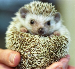hedgehogweb1